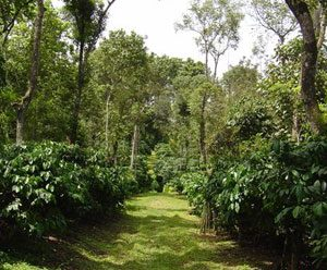 The Fine Art of Composting In Coffee Plantations