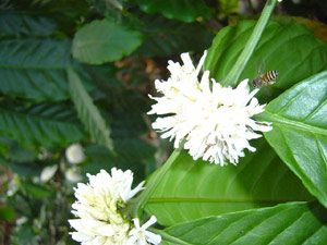 Physiology of Coffee Flowering