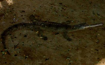 12alligator