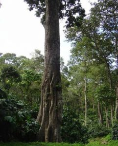 Role of Ectomycorrhizae In Coffee Plantations