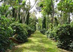 Nitrogen Economy Inside Coffee Plantations