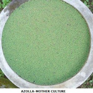Azolla as a Biofertilizer in Coffee Plantations