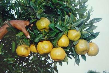 citrus2006slide-6