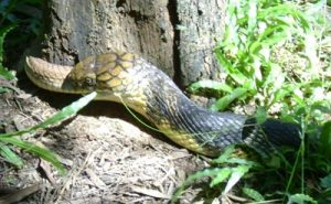 Snake Diversity and Conservation Inside Coffee Forests