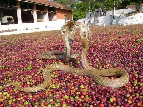 Human Snake Conflict Inside Coffee Forests - EcoFriendly ...