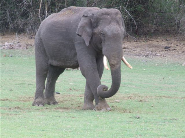 elephant-walking_2627236307_o