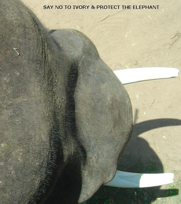 say-no-to-ivory---elephant_2624306951_o