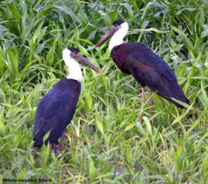 Aquatic Birds of the Western Ghats