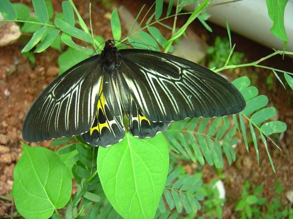 butterfly-06_3081916715_o