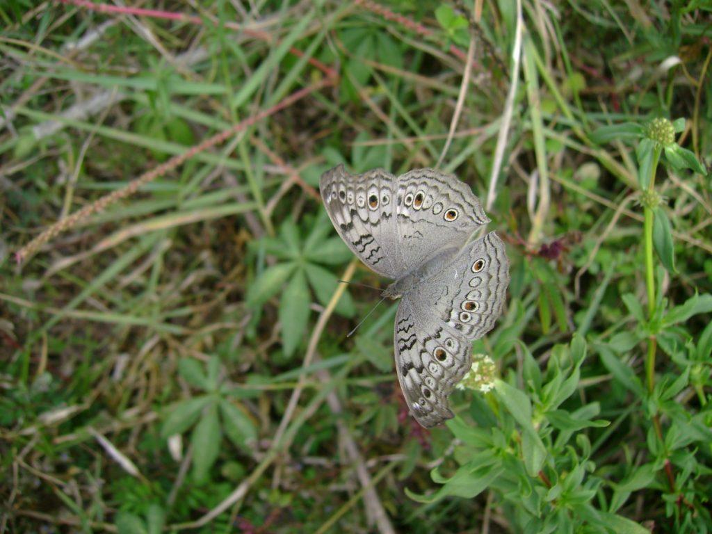butterfly-22_3082758074_o