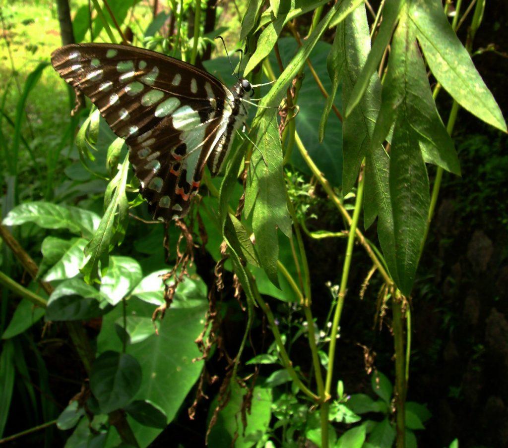 butterfly-29_3081919555_o