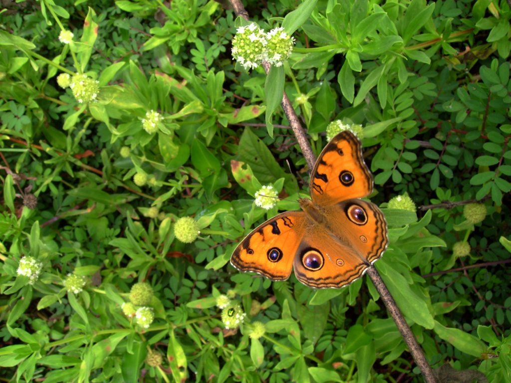 butterfly-35_3082758296_o