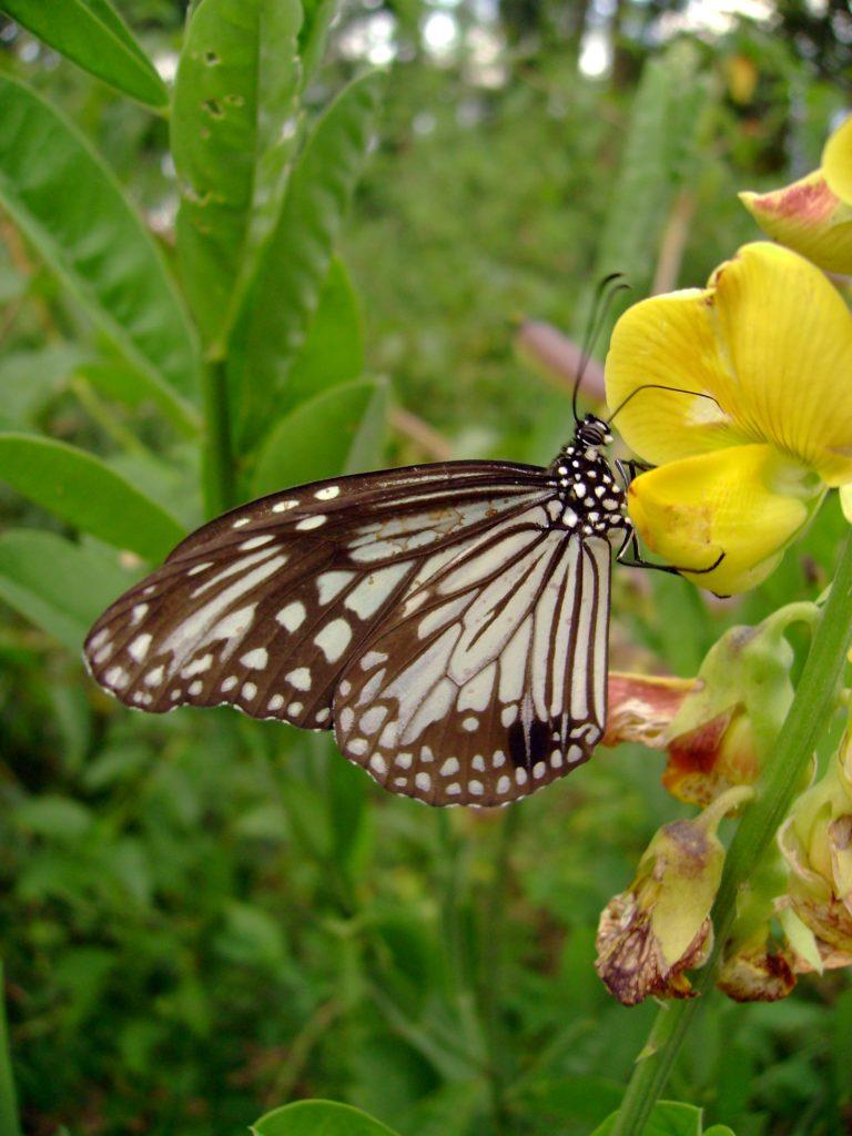 butterfly-36_3082762494_o