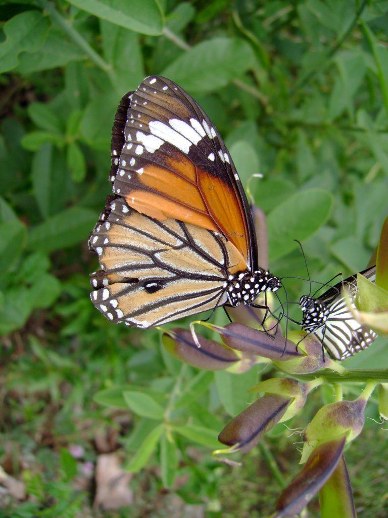 butterfly-42_3082763684_o