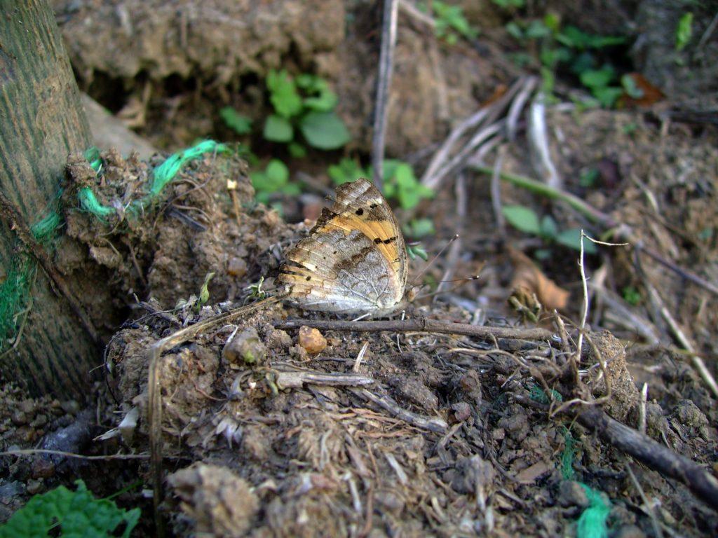 butterfly-61_3082761516_o