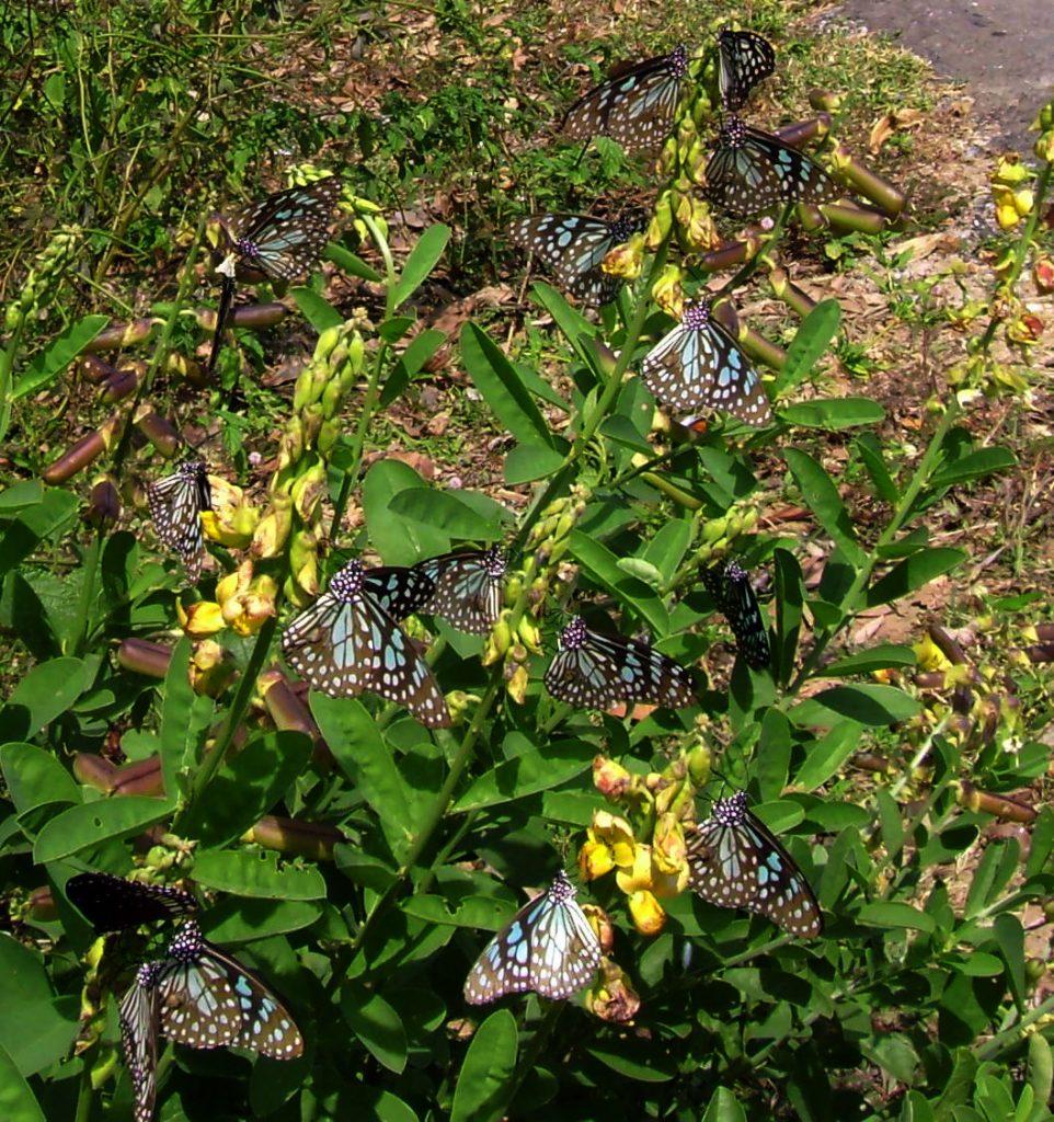 butterfly-77_3082766894_o