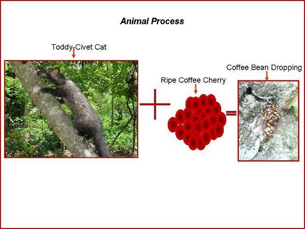 Civet coffee process - photo#12