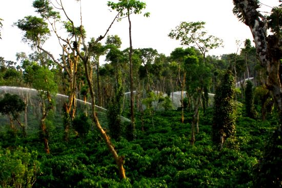 Indian Coffee Plantations