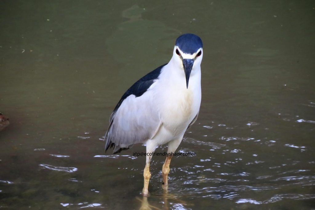 Black crowned Night Heron -1 (38)-10856948186