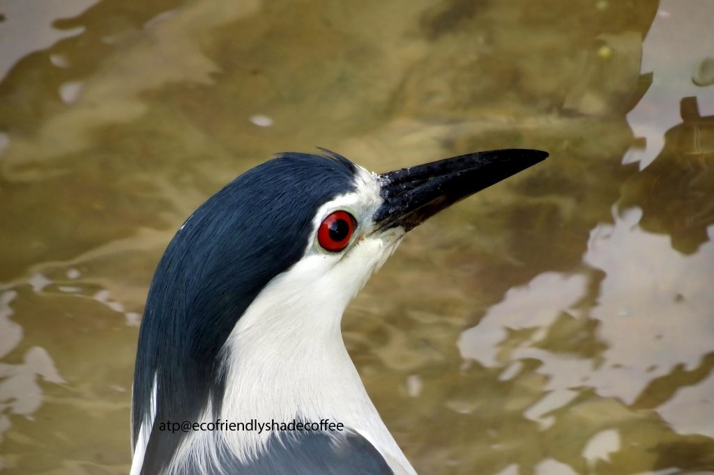 Black crowned Night Heron -1 (41)-10856941496