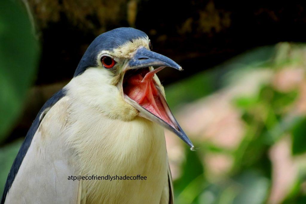 Black crowned Night Heron -1 (43)-10856938336