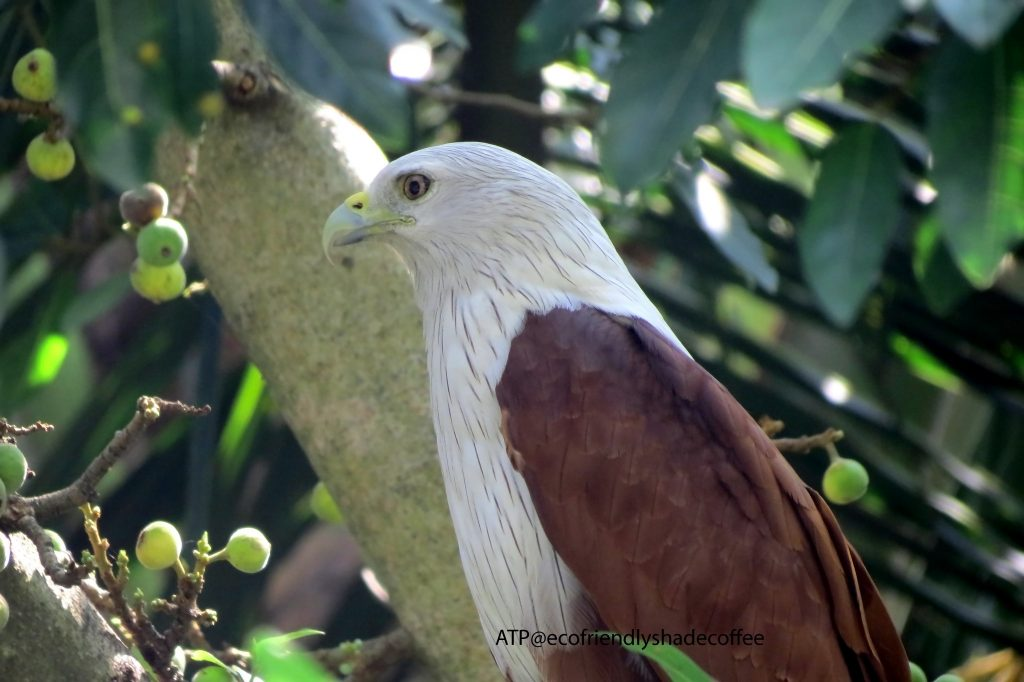2013 DEC.ATP shadecoffee Brahminykite slide-1 (1)-11079793723