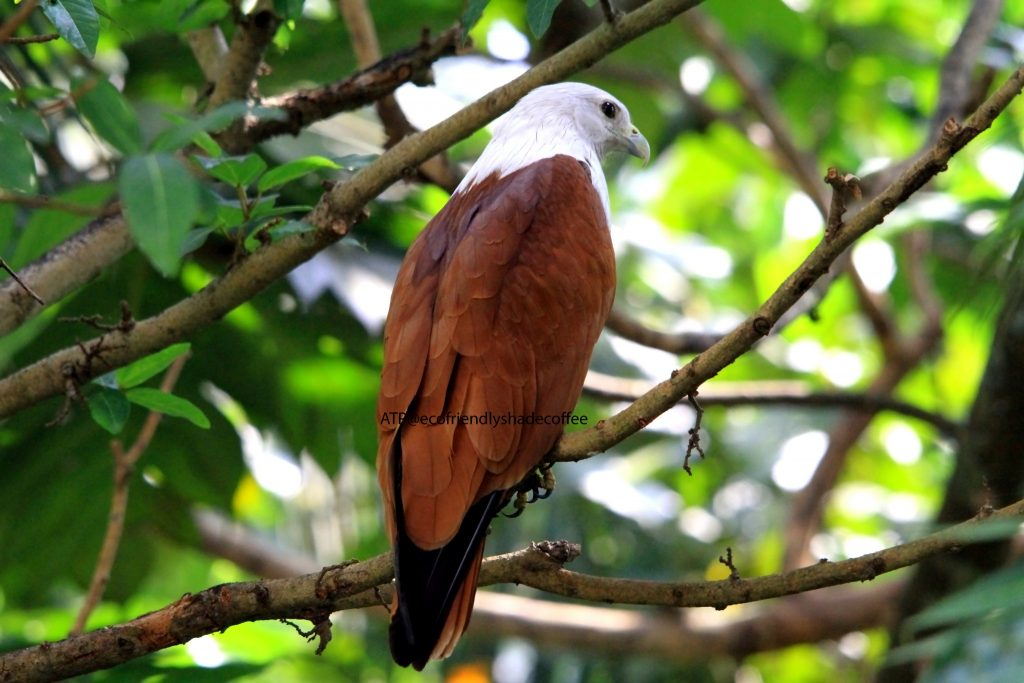 2013 DEC.ATP shadecoffee Brahminykite slide-1 (11)-11079559695