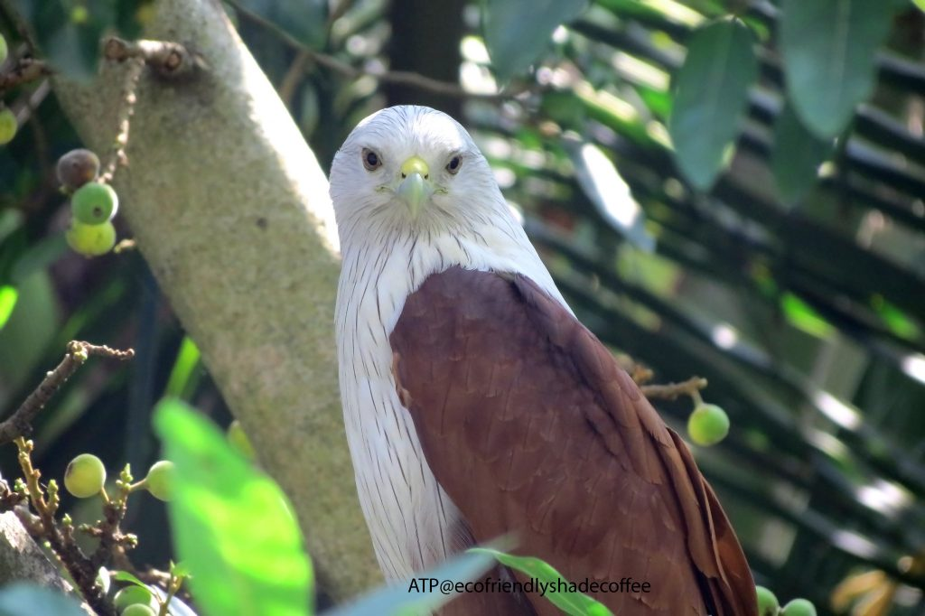 2013 DEC.ATP shadecoffee Brahminykite slide-1 (2)-11079713194