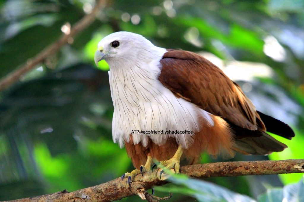 2013 DEC.ATP shadecoffee Brahminykite slide-1 (4)-11079690746