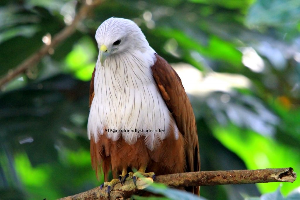 2013 DEC.ATP shadecoffee Brahminykite slide-1 (5)-11079593365