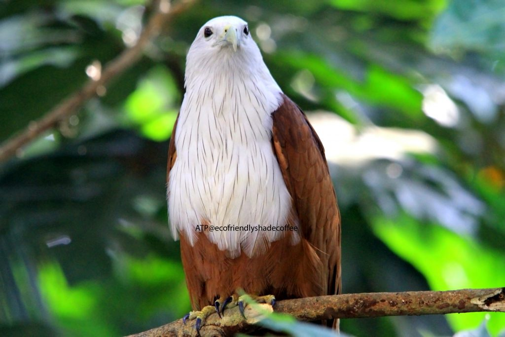 2013 DEC.ATP shadecoffee Brahminykite slide-1 (6)-11079696714