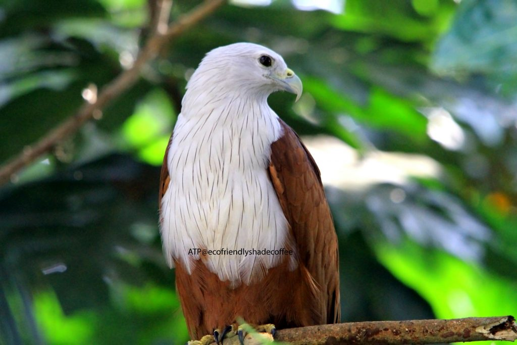 2013 DEC.ATP shadecoffee Brahminykite slide-1 (7)-11079690224