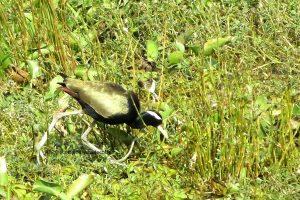 Bird Friendly Shade Coffee and the Bronze Winged Jacana