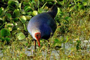 Bird Friendly Coffee and the Purple Moor Hen