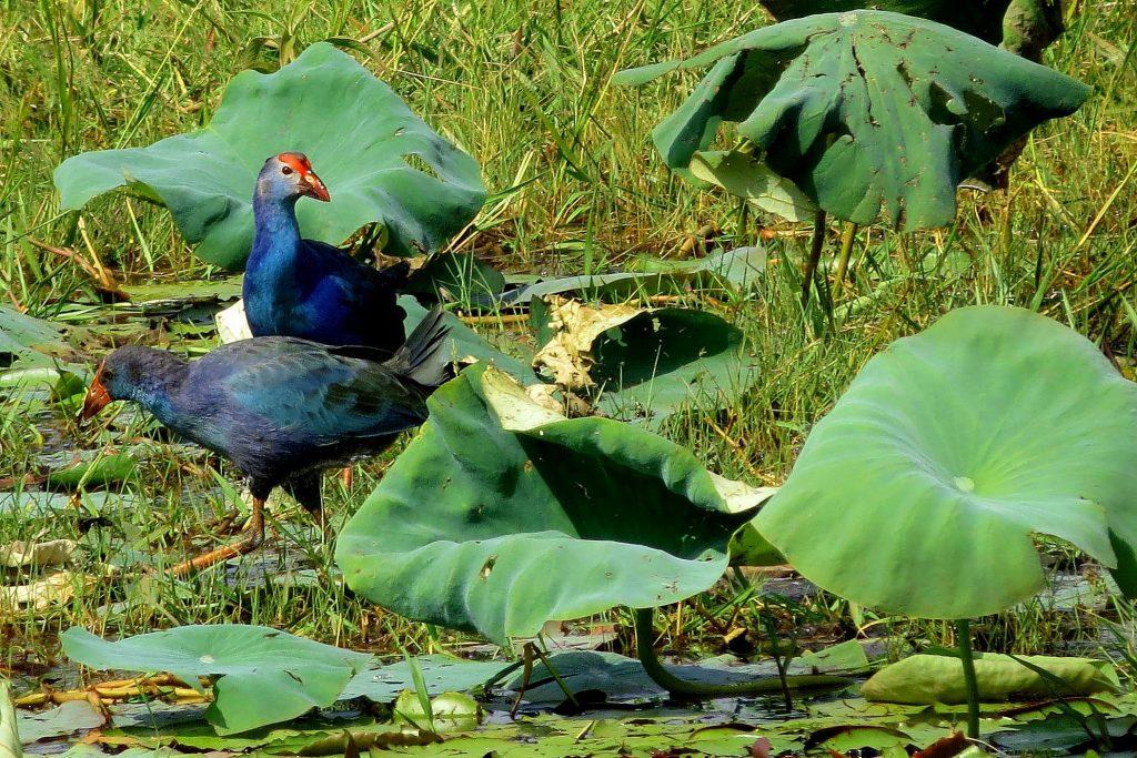 Purple Moor Hen in shade coffee slide-5-11951304776