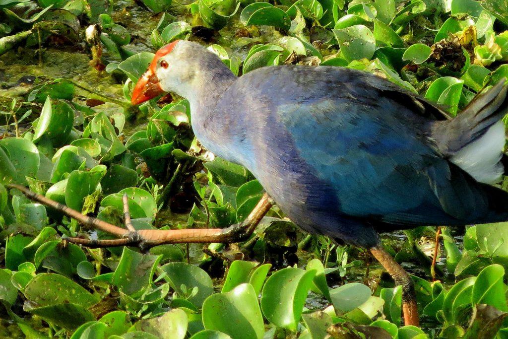 Purple Moor Hen in shade coffee slide-7-11950469355