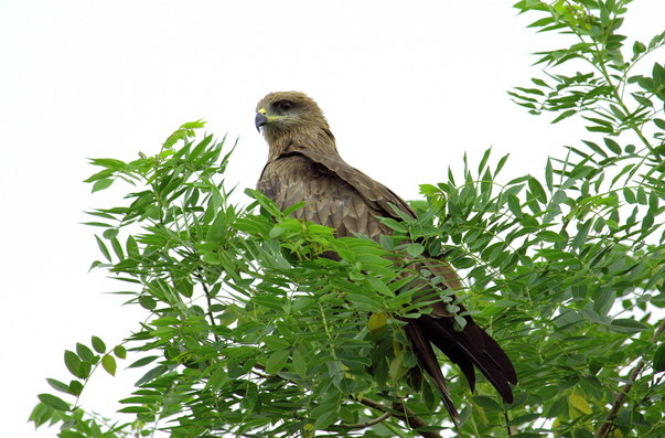 Pariah Kite