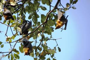 Role of Fruit Bats In Coffee Plantation Ecology