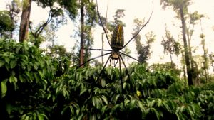 Role of Spiders in Controlling Pest Populations Inside Shade Coffee