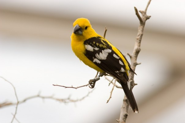 yellow mexican grosbeak