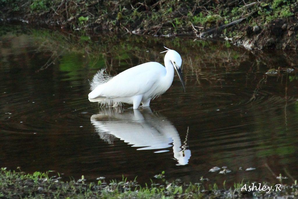 Median Egret