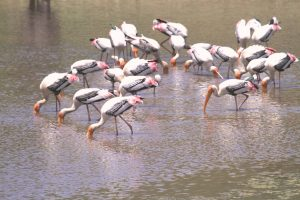 Painted Stork  – An Early Visitor To Ecofriendly Shade Coffee