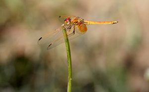 Dragonflies as Bio – Indicators in Ecofriendly Shade Coffee