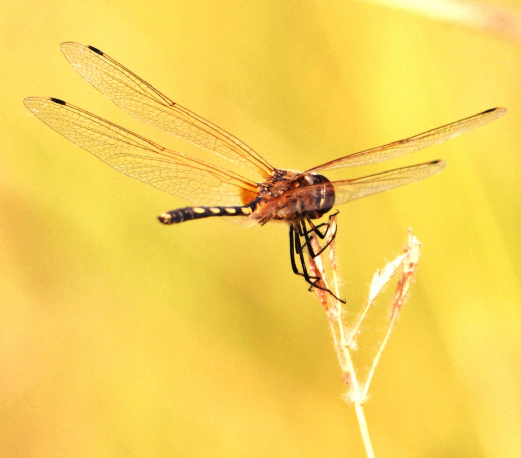 dragonflies as bio indicators in ecofriendly shade coffee