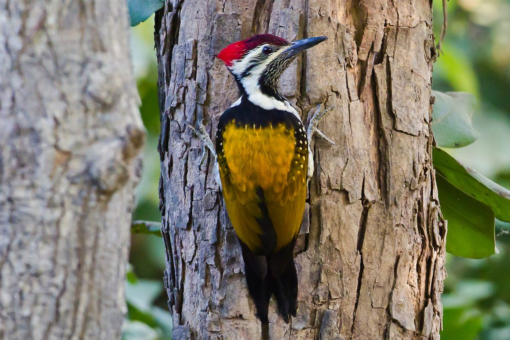 Black Rumped Flameback Wookpecker