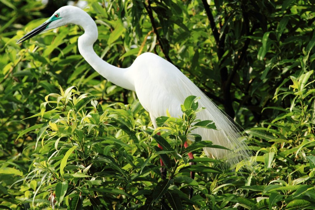 Greater Egret (Breeding)