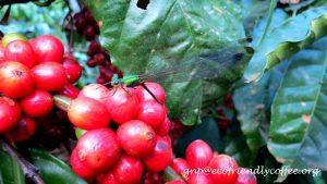 Ecofriendly Shade Coffee and the World of Damselflies.