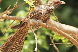 Coffee Friendly Asian Koel