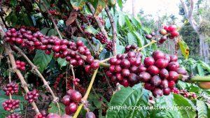 Honey Bees as Coffee Pollinators