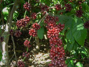 Potassium Dynamics In Coffee Soils